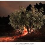 2015-08-19 – Foto-blog (381): L'olivera que conegué a Jesucrist